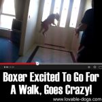 Boxer Excited To Go For A Walk, Goes Crazy!