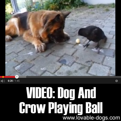 Dog And Crow Playing Ball