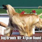Dog Breeds 101: Afghan Hound!