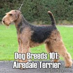 Dog Breeds 101: Airedale Terrier!