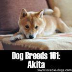 Dog Breeds 101: Akita