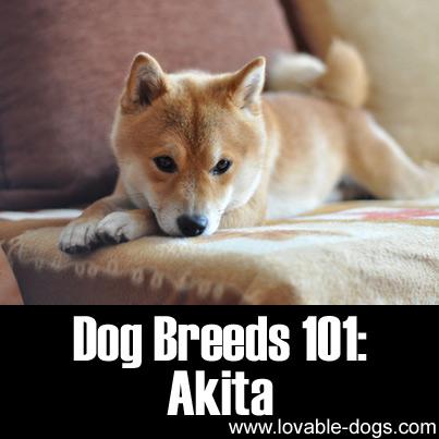 Dog Breeds 101 - Akita
