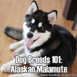 Dog Breeds 101: Alaskan Malamute!