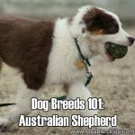 Dog Breeds 101: Australian Shepherd!
