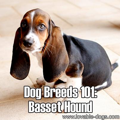 Dog Breeds 101 - Basset Hound