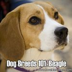 Dog Breeds 101: Beagle!