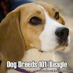 Dog Breeds 101: Beagle!