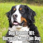 Dog Breeds 101: Bernese Mountain Dog!