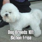 Dog Breeds 101: Bichon Frise!