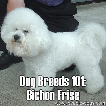 Dog Breeds 101 - Bichon Frise