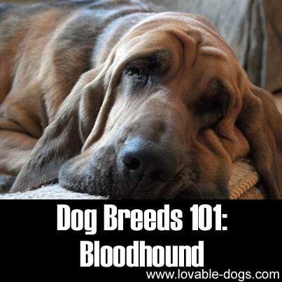 Dog Breeds 101 - Bloodhound