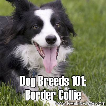 Dog Breeds 101 - Border Collie