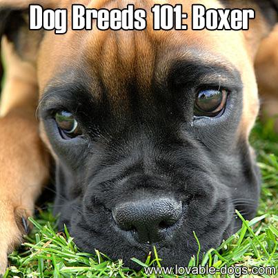 Dog Breeds 101 - Boxer