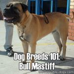 Dog Breeds 101: Bullmastiff!