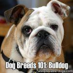 Dog Breeds 101: Bulldog!