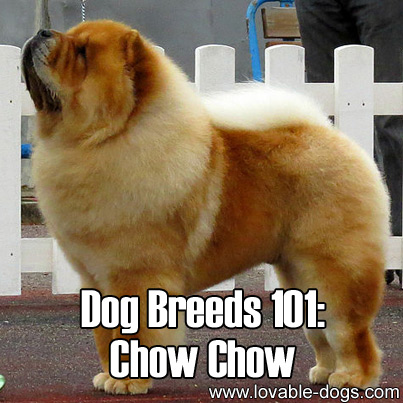 Dog Breeds 101 - Chow Chow