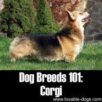 Dog Breeds 101: Corgi!