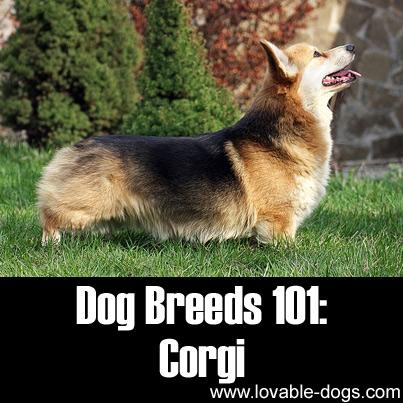 Dog Breeds 101 - Corgi