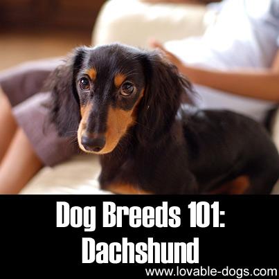 Dog Breeds 101 - Dachshund