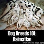 Dog Breeds 101: Dalmatian!