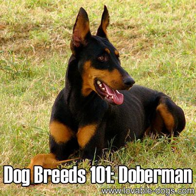 Dog Breeds 101 - Doberman Pinscher