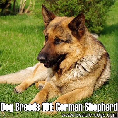 Dog Breeds 101 - German Shepherd