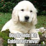 Dog Breeds 101: Golden Retriever!