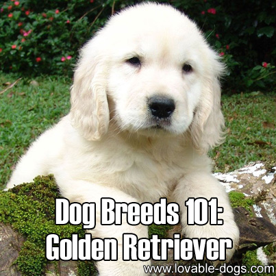 Dog Breeds 101 - Golden Retriever