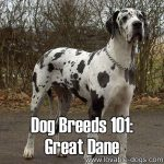 Dog Breeds 101: Great Dane!