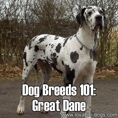 Dog Breeds 101 - Great Dane
