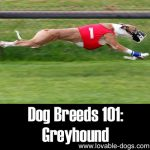 Dog Breeds 101: Greyhound!