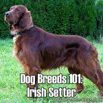 Dog Breeds 101: Irish Setter!