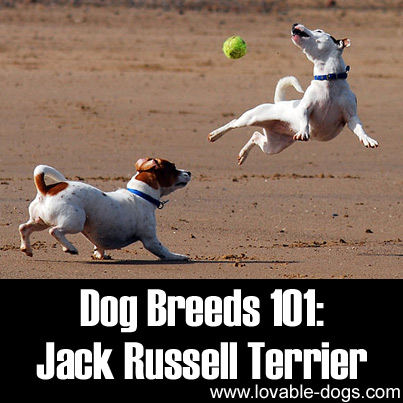 Dog Breeds 101 - Jack Russell Terrier