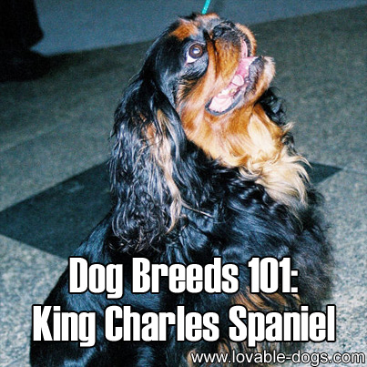 Dog Breeds 101 - King Charles Spaniel