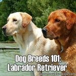 Dog Breeds 101: Labrador Retriever!
