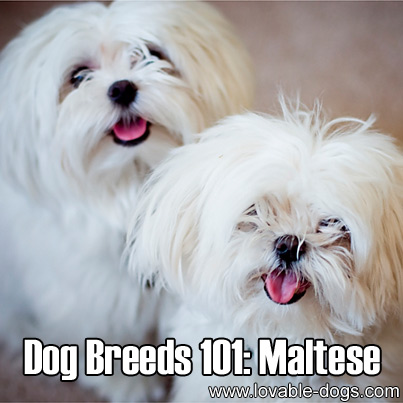Dog Breeds 101 - Maltese
