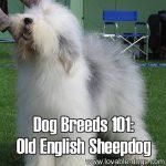Dog Breeds 101: Old English Sheepdog!