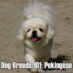 Dog Breeds 101: Pekingese!