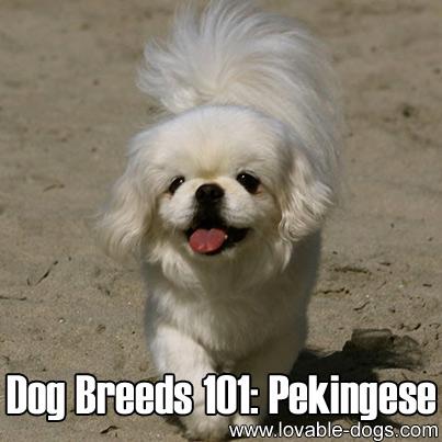Dog Breeds 101 - Pekingese