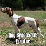 Dog Breeds 101: Pointer!