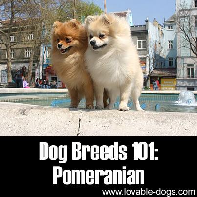 Lovable Dogs Dog Breeds 101 Pomeranian Lovable Dogs