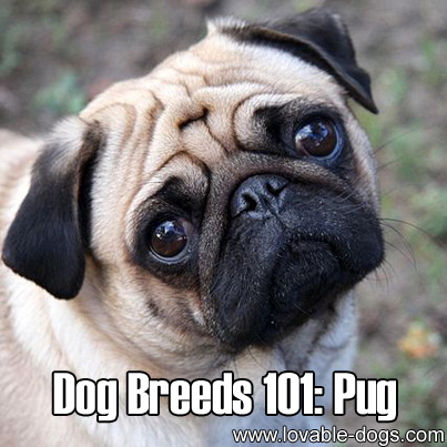 Dog Breeds 101 - Pug