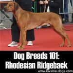 Dog Breeds 101: Rhodesian Ridgeback!