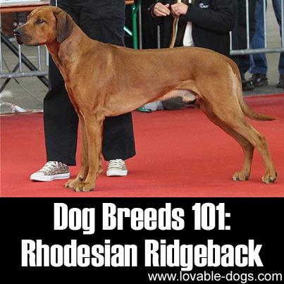 Dog Breeds 101 - Rhodesian Ridgeback