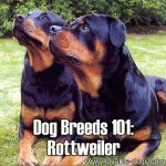 Dog Breeds 101: Rottweiler!