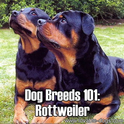 Dog Breeds 101 - Rottweiler
