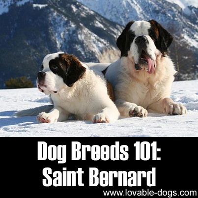 Dog Breeds 101 - Saint Bernard