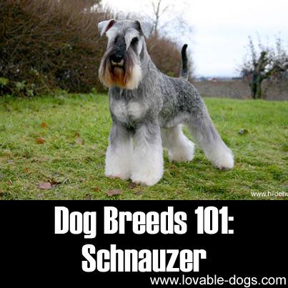 Dog Breeds 101 - Schnauzer