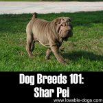 Dog Breeds 101: Shar Pei!