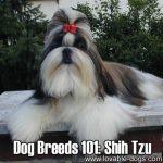 Dog Breeds 101: Shih Tzu!